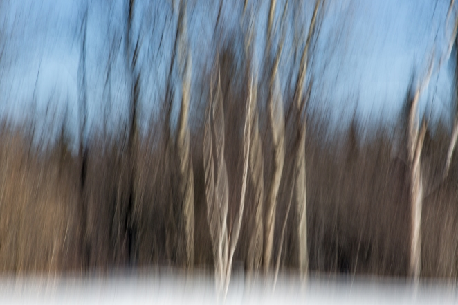 103/365 - Dancing birch trees