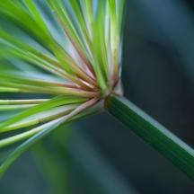 165/365 - Cyperus Papyrus